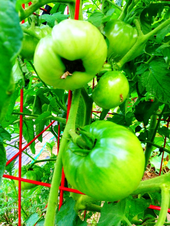 MSK Farm - green tomatoes
