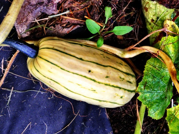MSK Farm - young winter squash