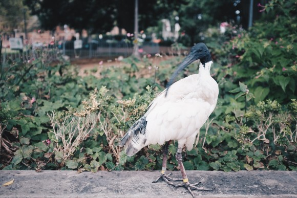 cool things on the tour...the australian white ibis